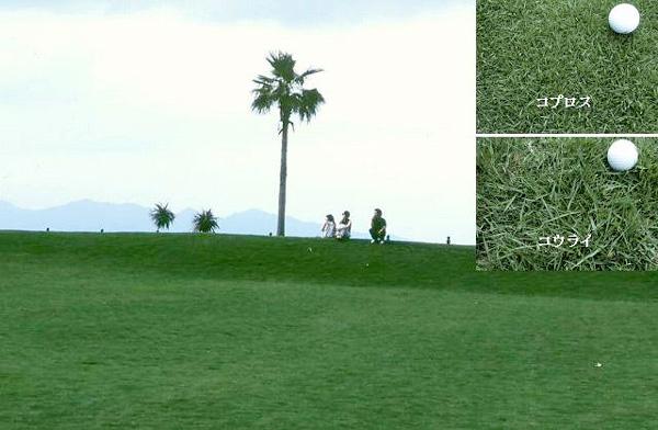 特徴1:コウライとの芝生の比較図