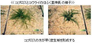 特徴1:コプロスとコウライのほふく茎伸長の様子