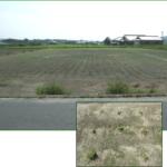 スクラムの生長性 – 独自開発天然芝【スクラム】
